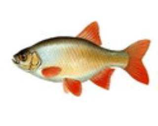 Красноперка - самая пестрая рыба России